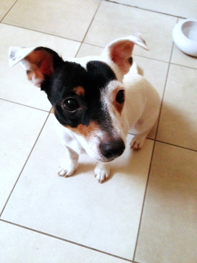 dog, puppy, jack russel, dogsitting, pet, animal, love, new year, parenting